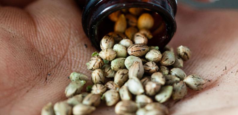 Choosing Your Cannabis Seeds – A Beginner's Guide